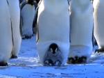 初めて自分で歩く皇帝ペンギンの赤ちゃん