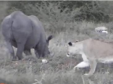 荒れるクロサイ vs. ライオンの群れ
