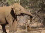 井戸の水を飲む賢い象