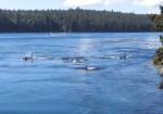 カナダのガリアーノ島の海峡に現れたシャチの大群