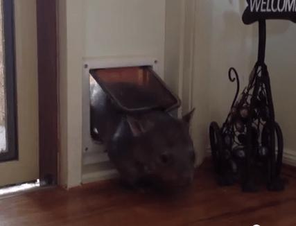 猫用通路を利用するウォンバット