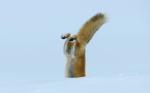 雪の下にいるネズミを狩るキツネ