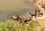 リカオン、水辺に逃げた獲物を力ずくで引きずり出す