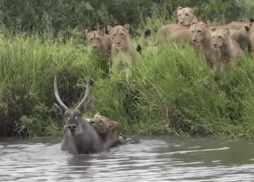 ライオンの狩 ウォーターバック