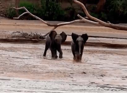 走って母親の元に向かう二頭の子象