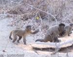 仲間に石をぶつける猿