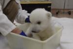 ホッキョクグマの赤ちゃんの入浴タイム