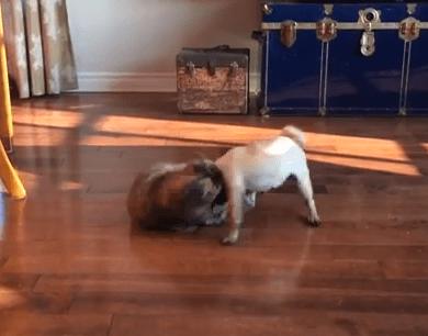 パグ vs. 猫