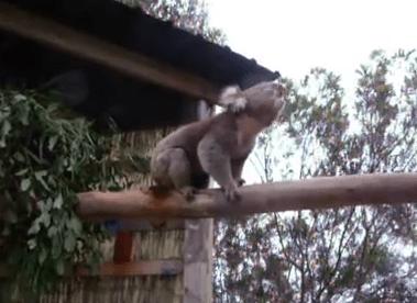 野獣のようなコアラの雄叫び