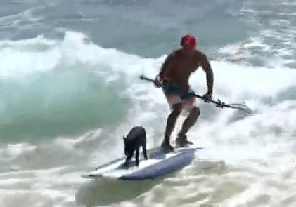 サーフィンを楽しむハワイのミニブタ