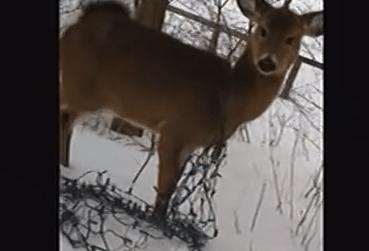 イルミネーションランプが絡まった子鹿を警官が救出