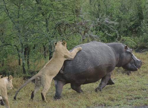 巨大なカバ vs.ライオンの群れ