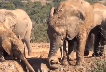泥沼から出られなくなった子象の救助