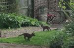 庭で遊ぶ5匹のキツネの赤ちゃん兄弟