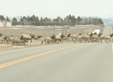 道路を横断するアメリカアカシカの長~い行列