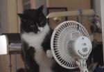 猫パンチ vs. ファン、扇風機と戦う猫