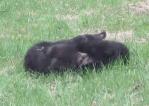 裏庭で2頭の熊が激しい戦いをしていた!