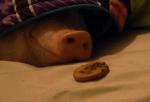 寝ているブタの鼻の前にクッキーを置くと…
