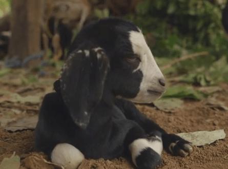 ヤギの赤ちゃん、鼻にハエが止まり、くしゃみ連発