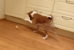 卵と格闘するバセンジー犬