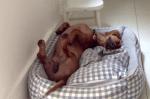 眠りながらしっぽを振るダックスフンド