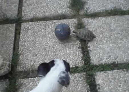 ワンコ vs. カメ サッカー対決