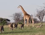 ライオンの群れから子供を守るキリンの母親
