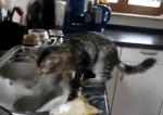 台所仕事のプロフェッショナル猫