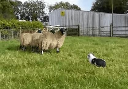 ボーダーコリーと羊の達磨さんが転んだ