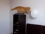 風船に興味津々なネコ、乱暴すると爆ぜちゃうよ…