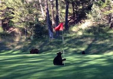 子熊がゴルフ場のグリーンでポールダンス