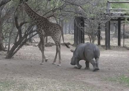 キリンの強烈な後ろ蹴りを喰らうサイ | サイ vs. キリン