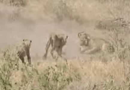 ライオンの群れの狩り、インパラをワンハンドキャッチ