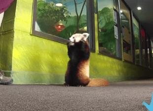 リンカーン子供動物園の生後6ヶ月のレッサーパンダ