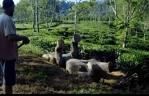 仰向けの状態で溝に転落したアジアゾウの救出