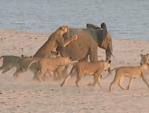 14頭のライオン vs. 1頭の象の子供
