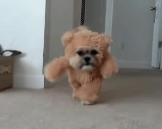 テディベアコスチュームを着た犬
