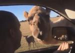 ラクダが車に顔を突っこみ観光客の食べ物を強奪