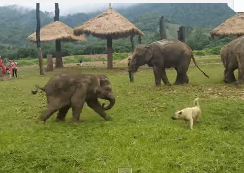 犬を追いかける象の赤ちゃん、追いつけずイライラ