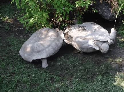 ひっくり返った仲間を助ける亀