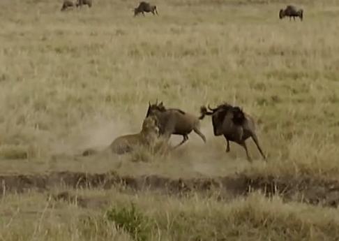 子供を襲われたヌーの母、怒りの頭突きでヒョウを突き飛ばす