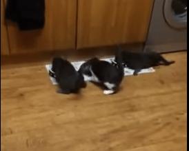 餌に向かって猛ダッシュする3匹の猫