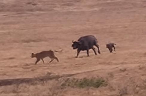 ライオンに襲われるアフリカ水牛の子供を仲間が守る映像