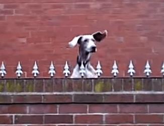犬が覗き見をするシーンばかりを集めた映像