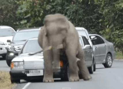 象がお尻でメルセデス・ベンツを襲う衝撃映像
