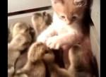 子猫がアヒルの雛に囲まれピンチ