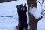 雪が積もって大はしゃぎするレッサーパンダ