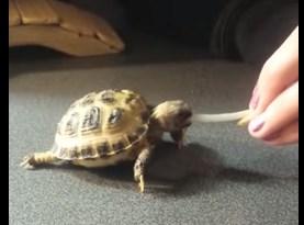 もやしを食べる亀の赤ちゃん