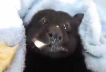 バナナを食べるコウモリの赤ちゃん