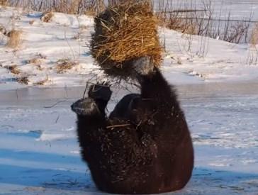 枯れ草の塊で遊ぶクマの映像